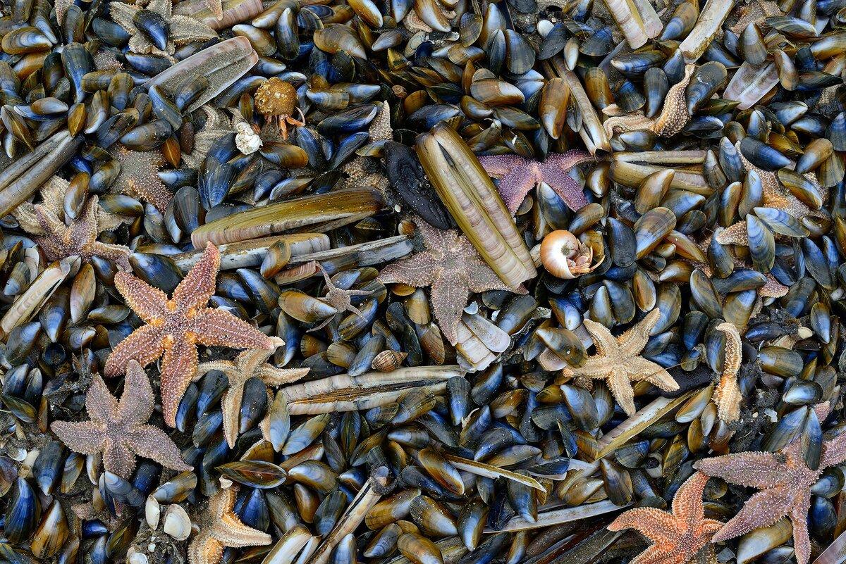 In 16 jaar verrassend veel nieuwe schelpdieren in Nederlandse Noordzee